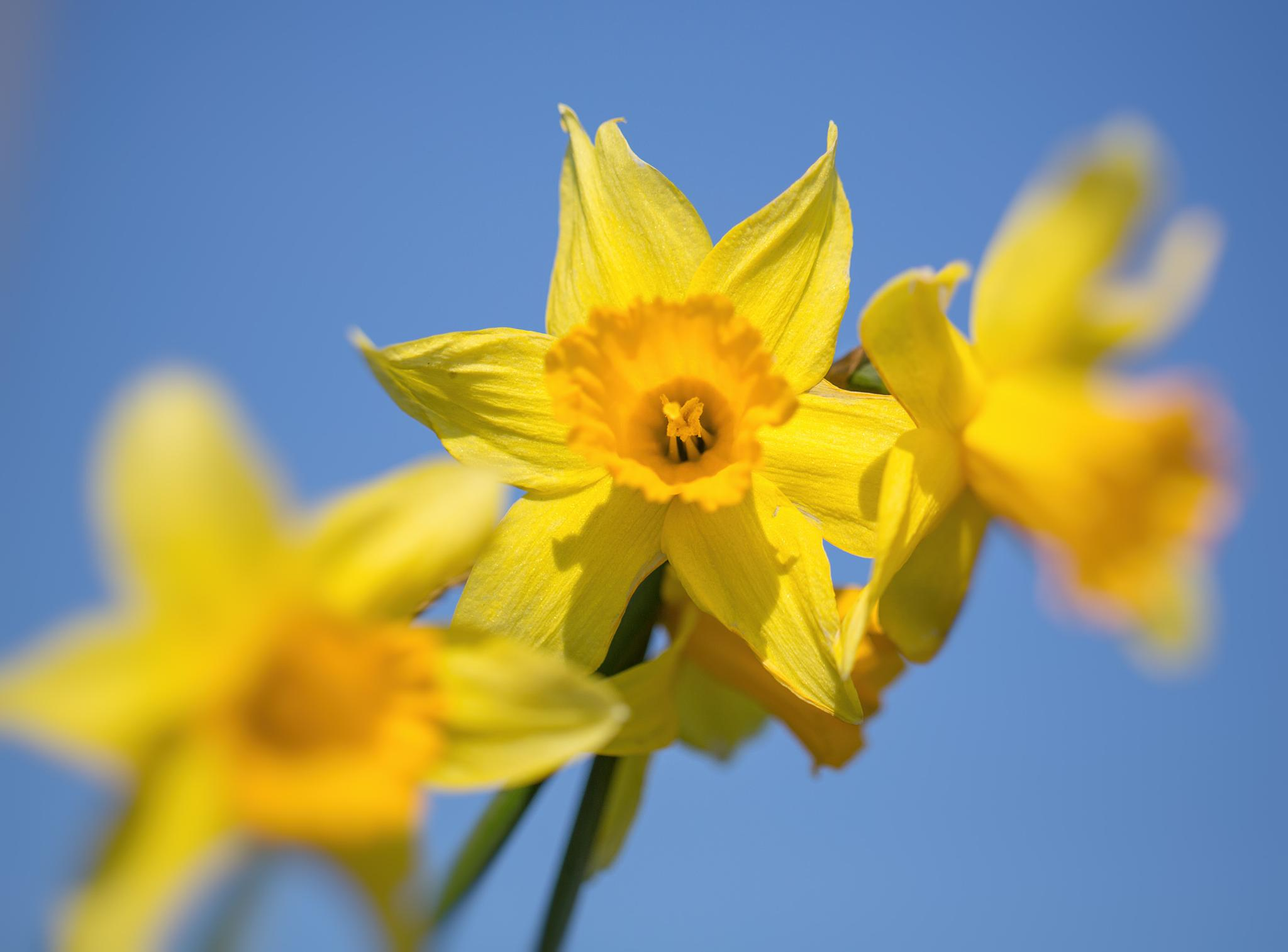 Cresswell Daffodils by MikeBlythe