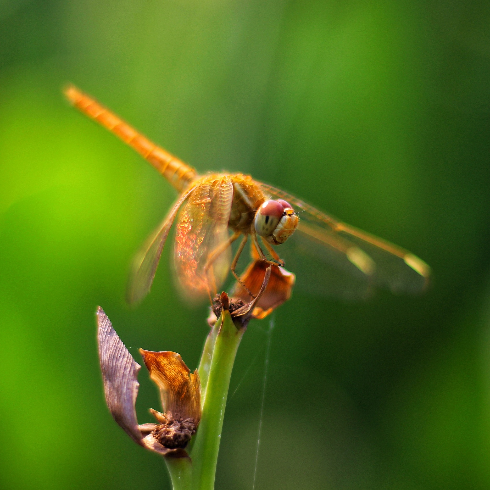 The Dragonfly by Khushal Singh