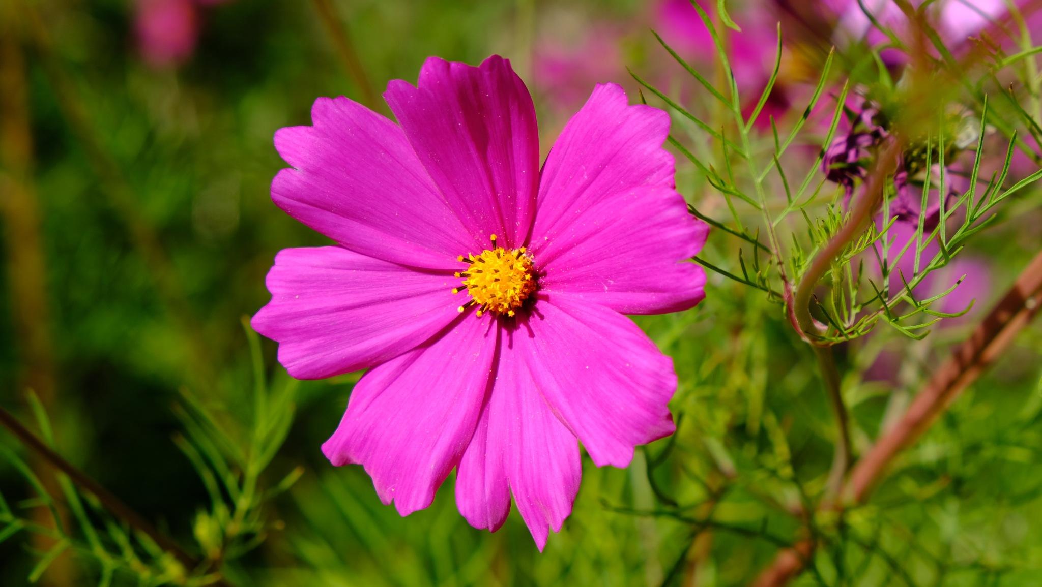 Fleur cosmos by henridge