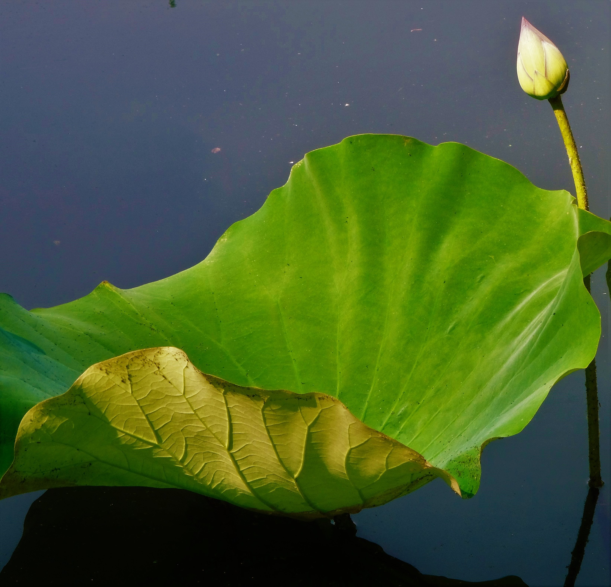 Water lily pad and bud by Jacqueline Fields