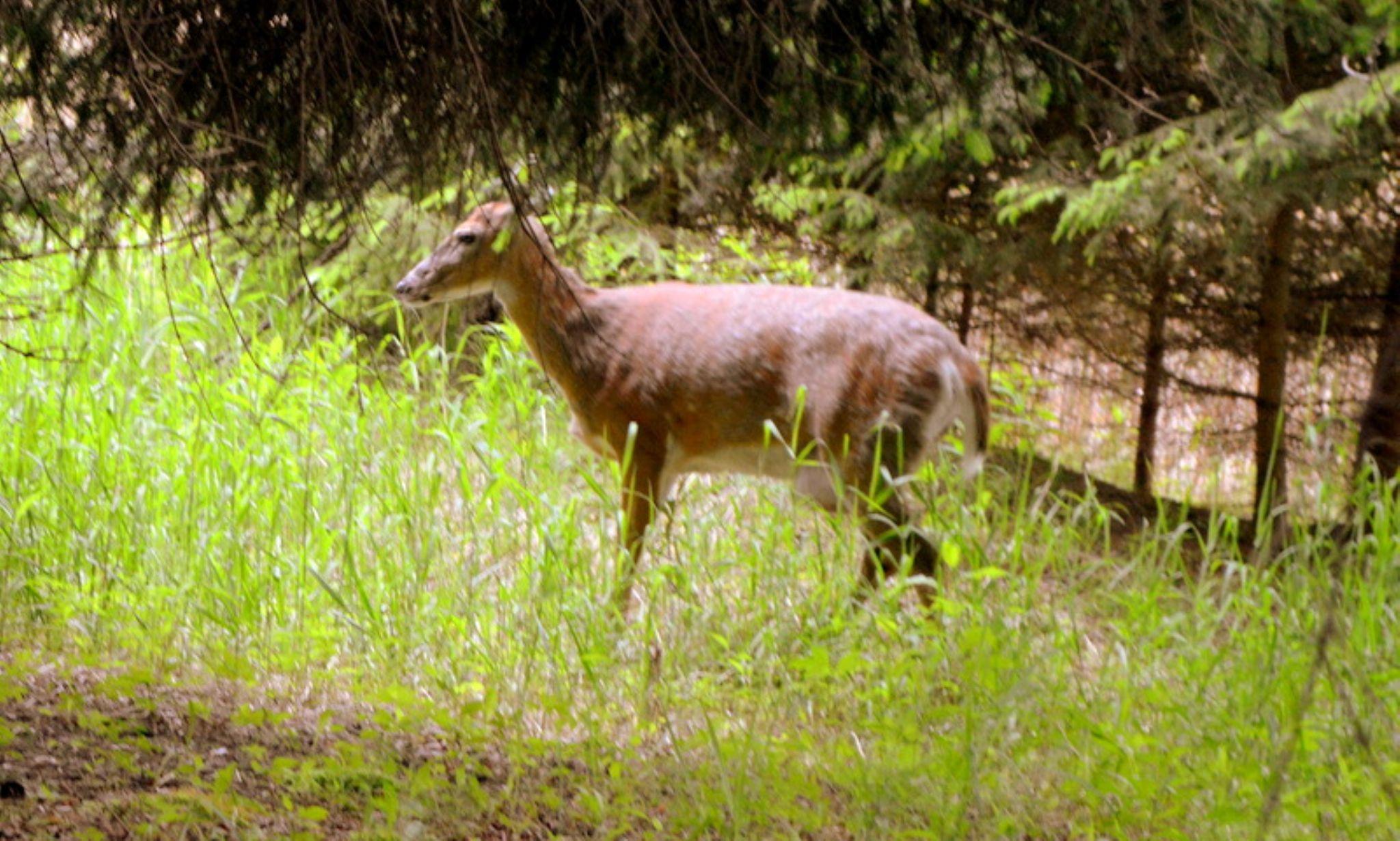 3 legged deer by Karen Mayer