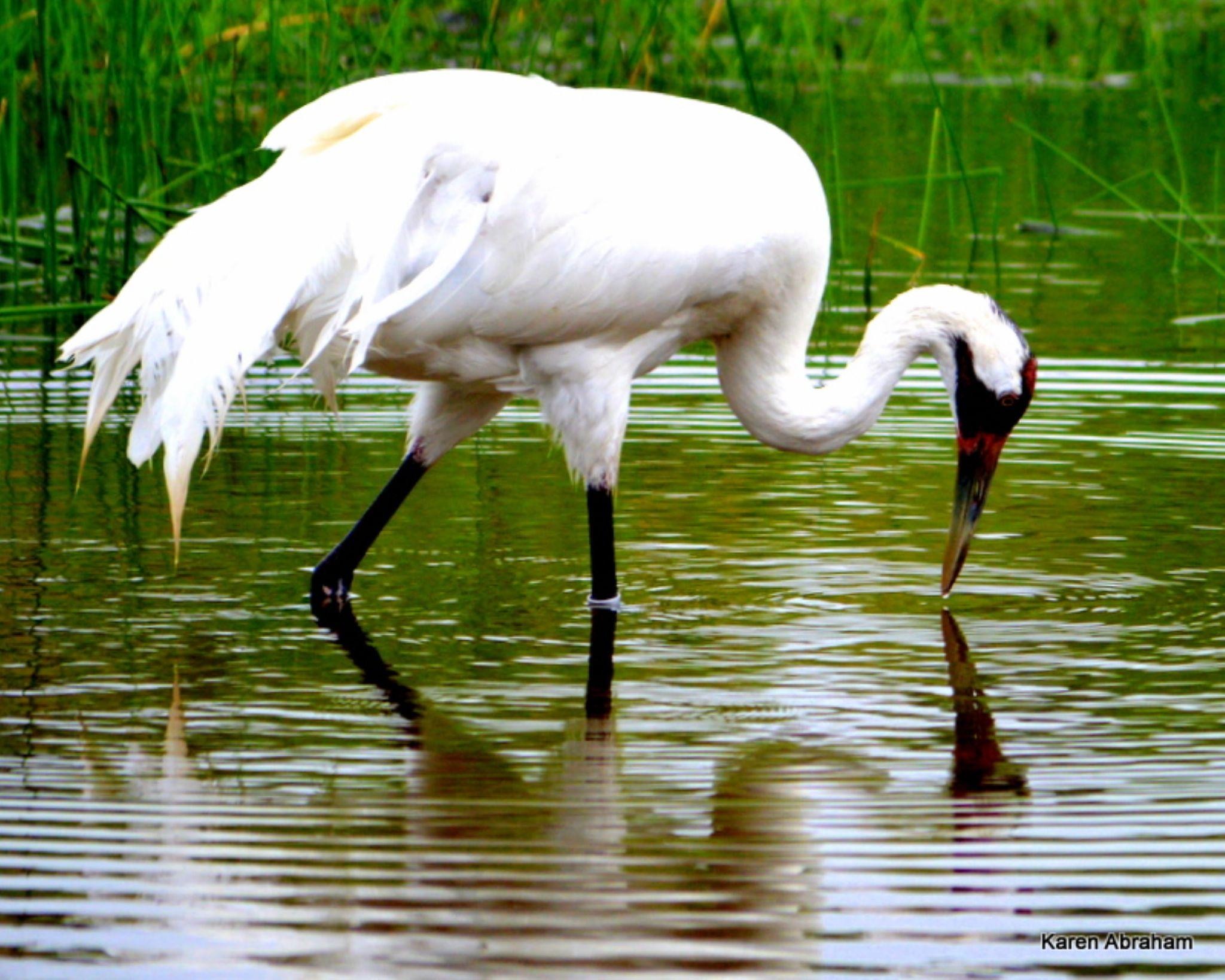 The Whooping Crane by Karen Mayer
