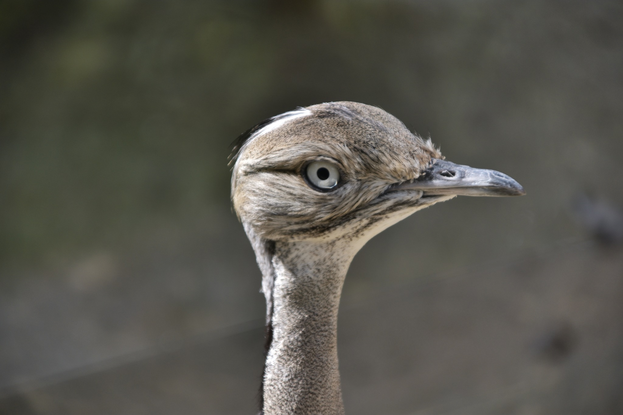 L'Outarde Houbara d'Asie  by XsenaX