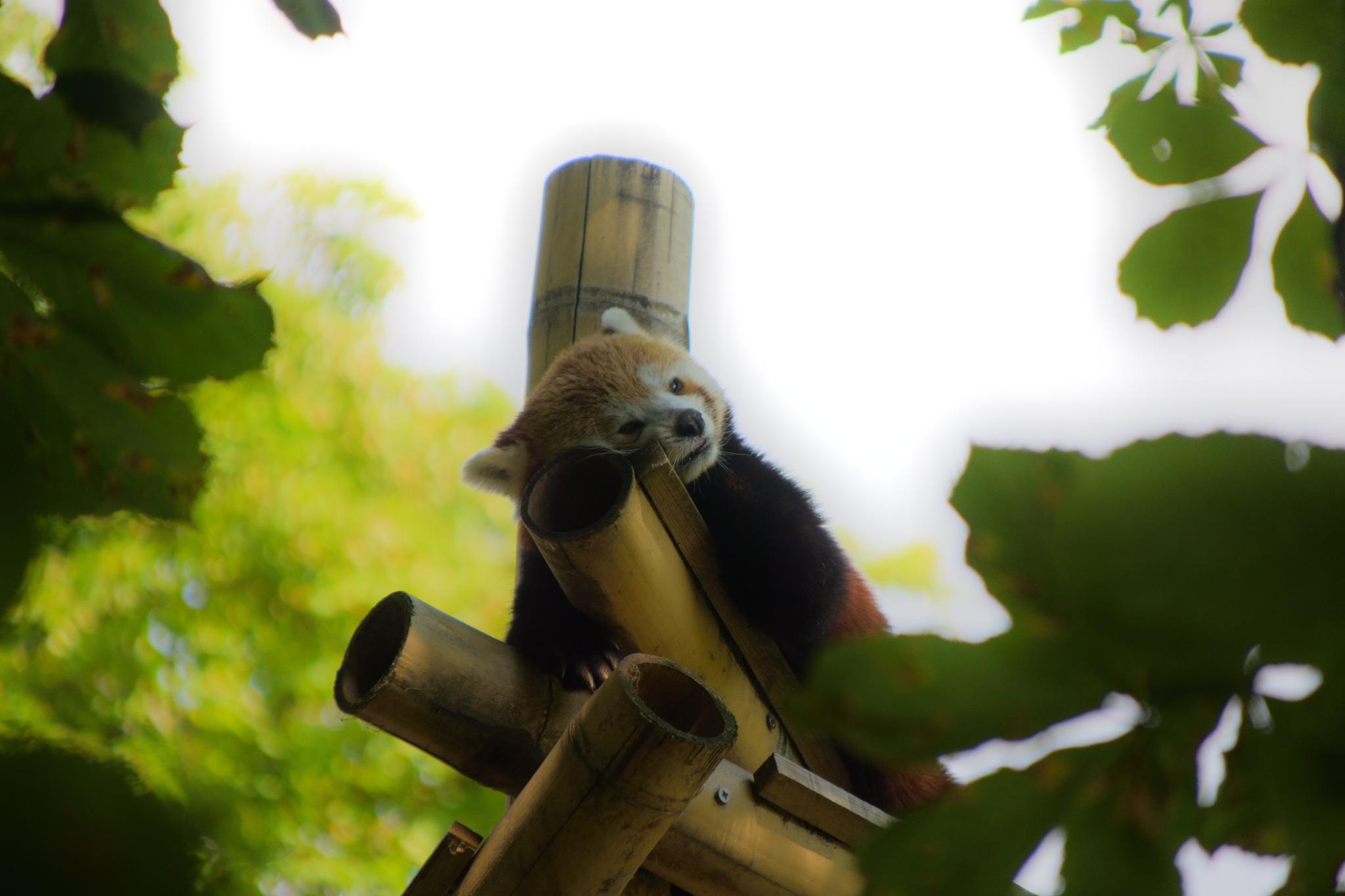 Panda Roux by XsenaX