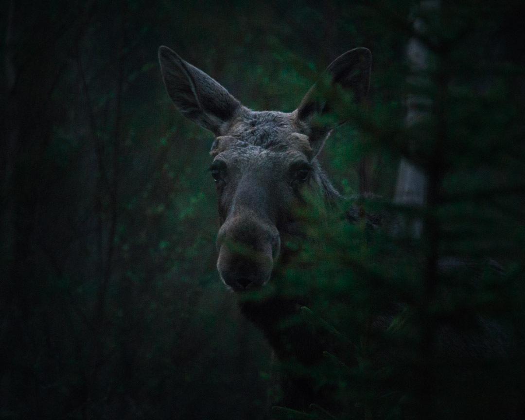 Moose by Isac Svanberg