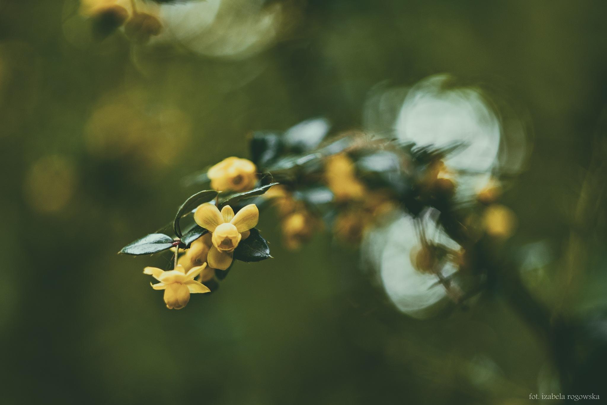 Spring-flowers by Izabela Rogowska