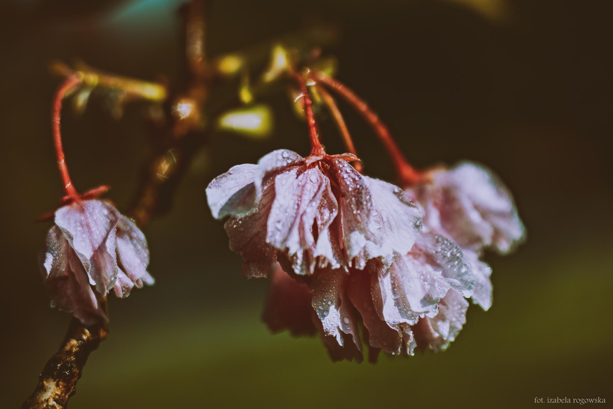 Tears on the petals by Izabela Rogowska