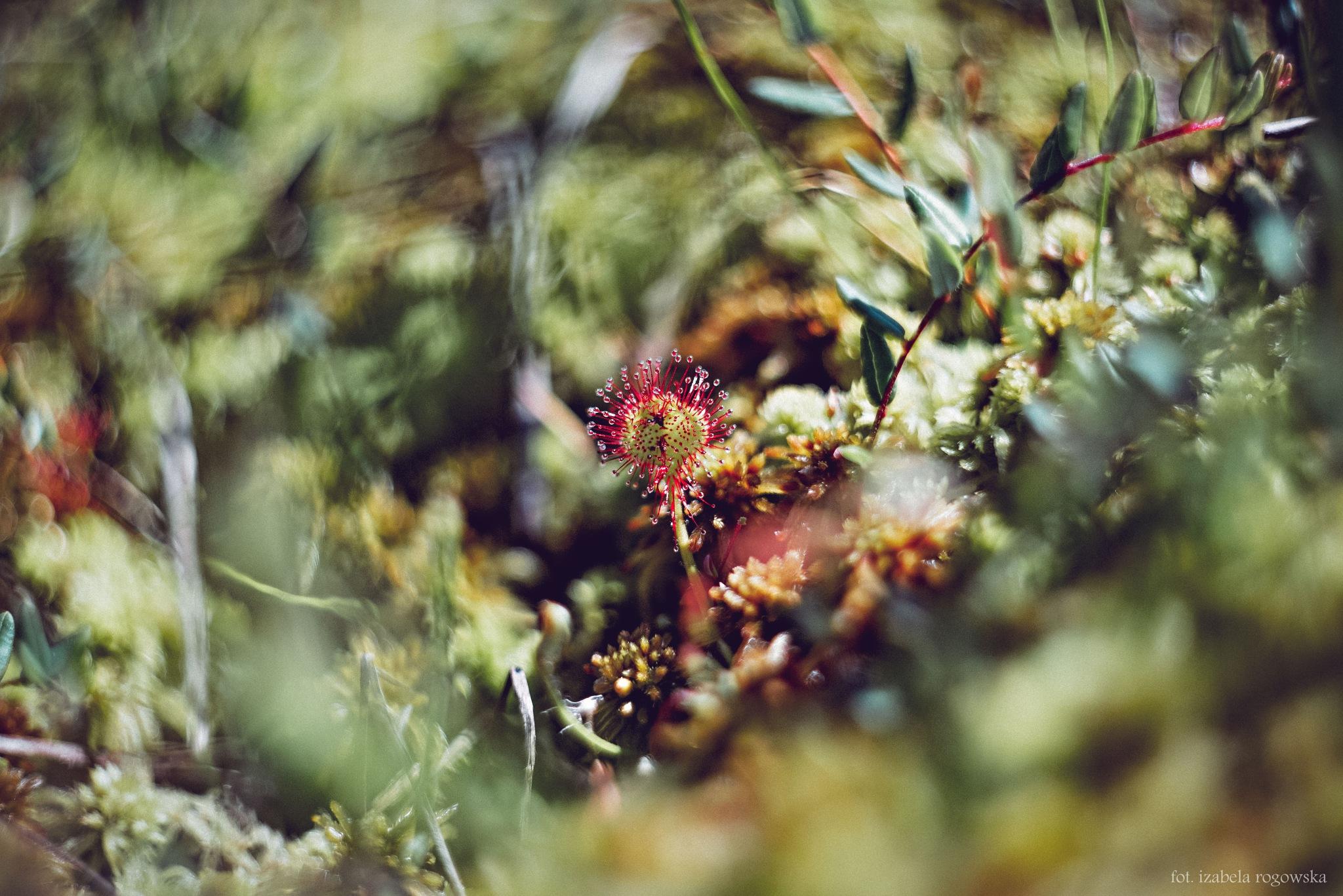 Insectivorous Sundews by Izabela Rogowska