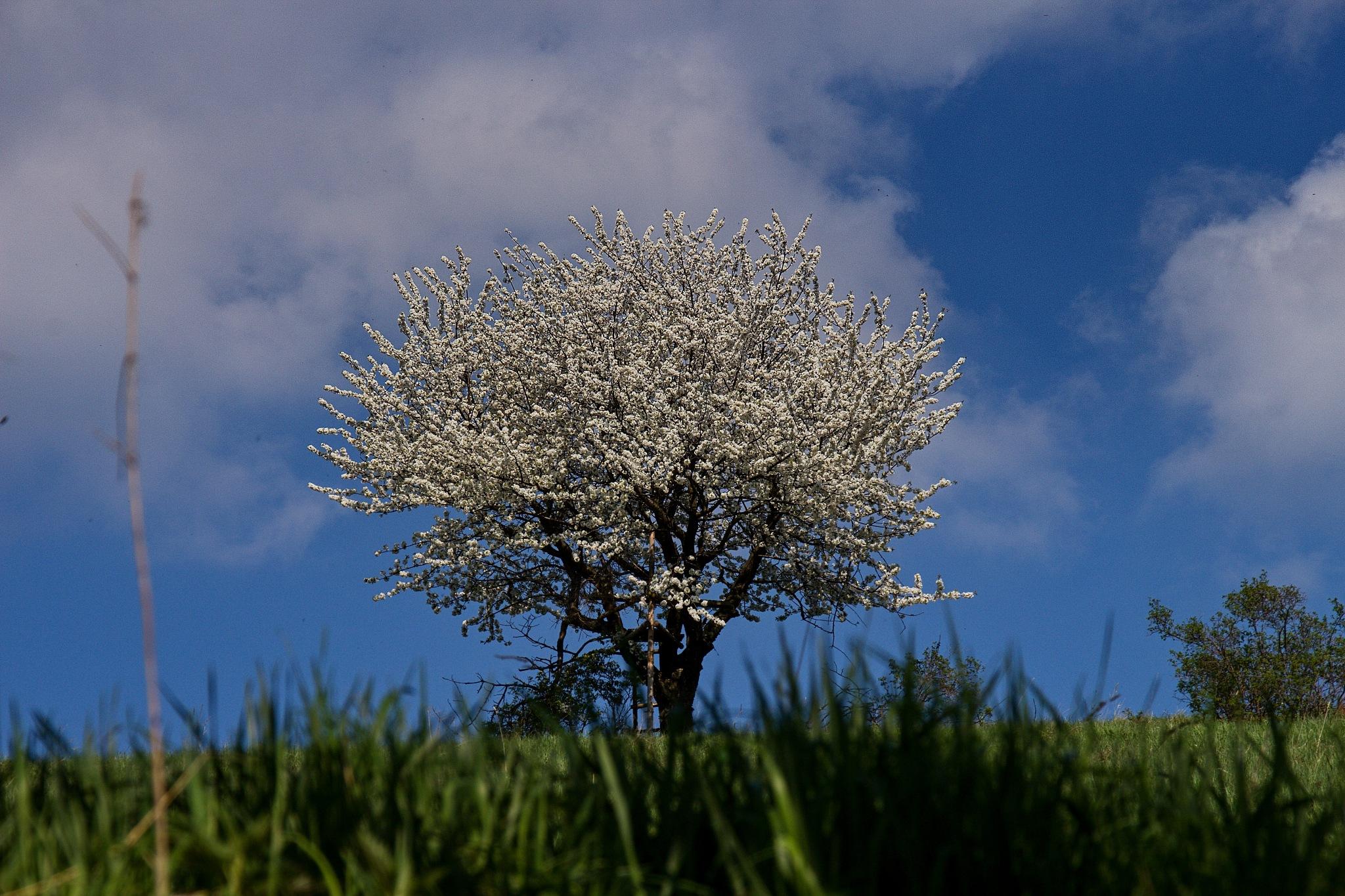 Blooming tree by Kuba Šír