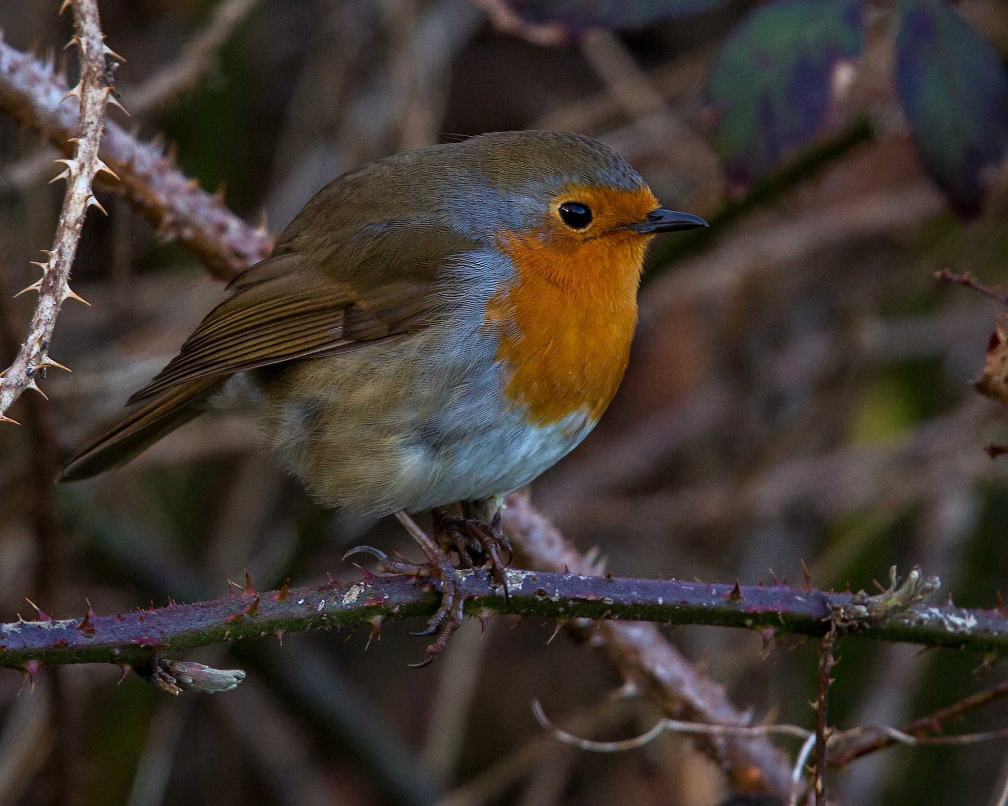 Photo in Random #robin #bird #red #breast #feathers