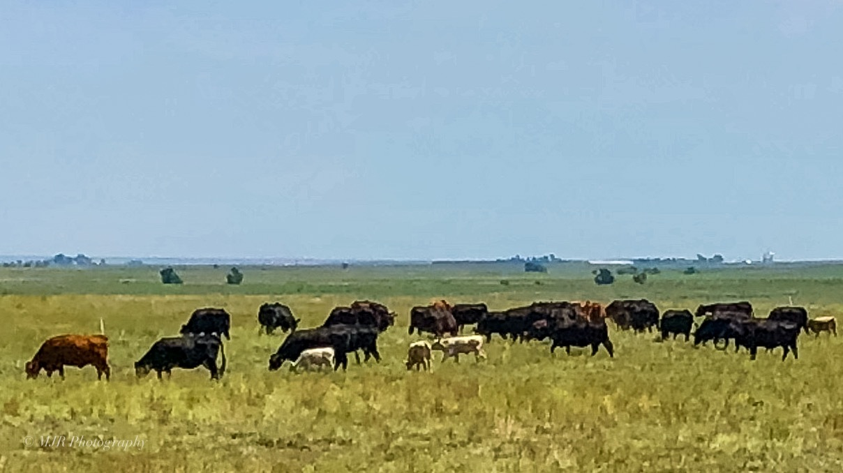 Cattle herd by Mark Roberts