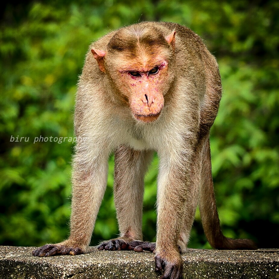 monkey  by BIRU photographer