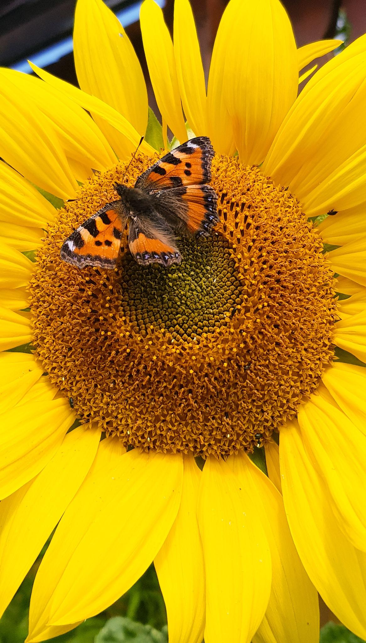 Sunflower  by Denise S.