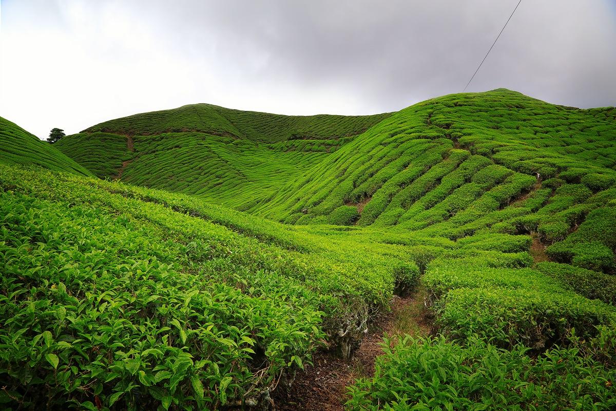 Tea Fields  by Muhammad Almuhammady