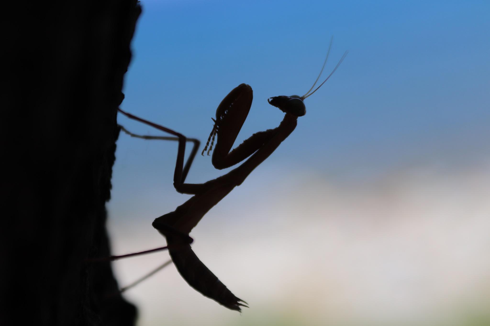 Mantis shadow by Andreea-Cristiana Irimia