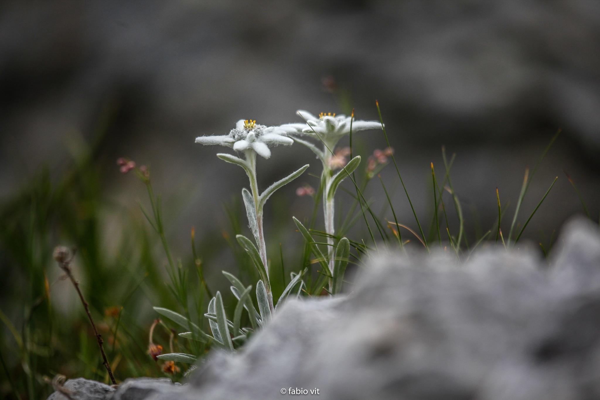Alpine star by Fabio Vit