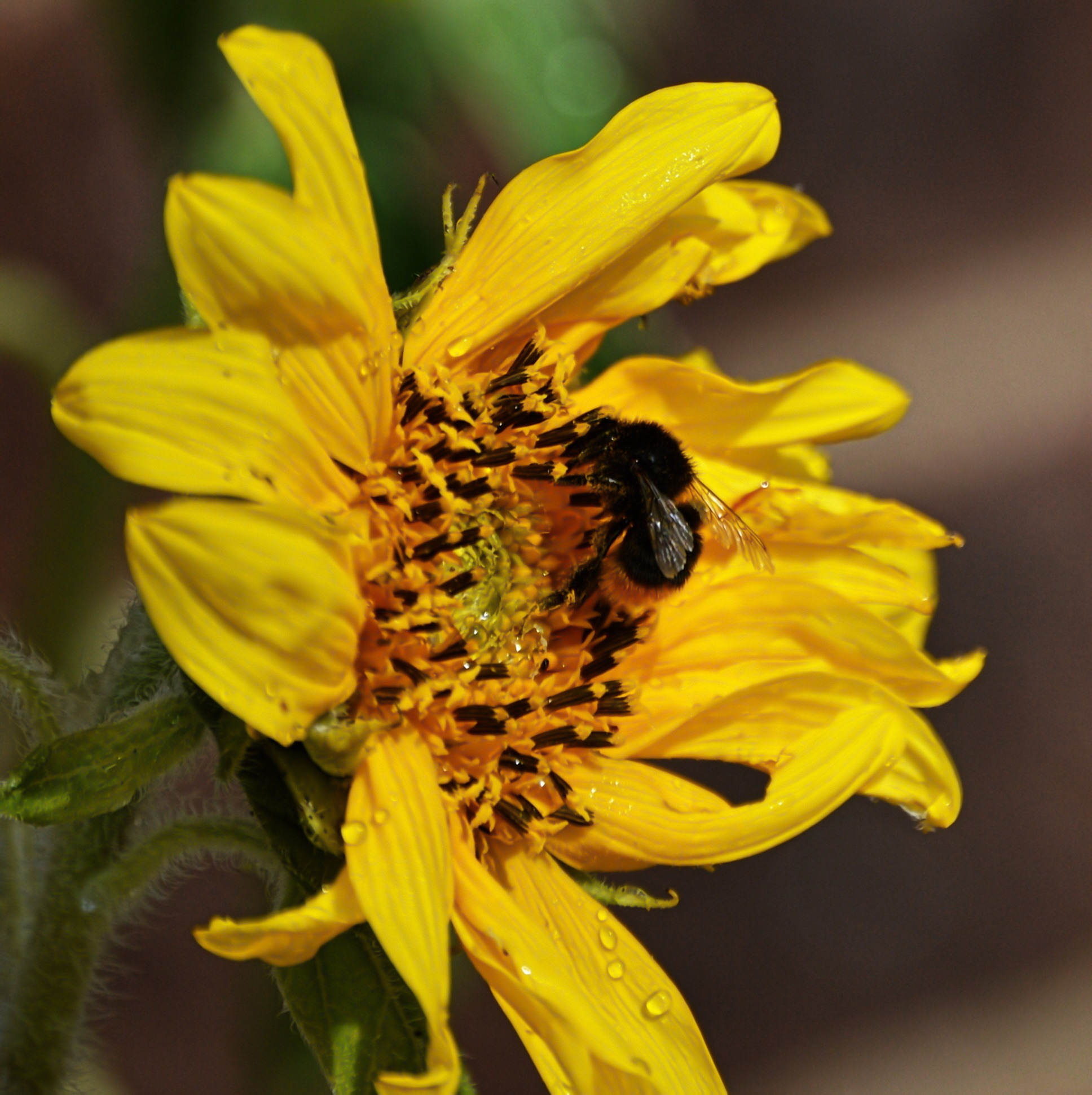 Bee a sunflower by Gordon