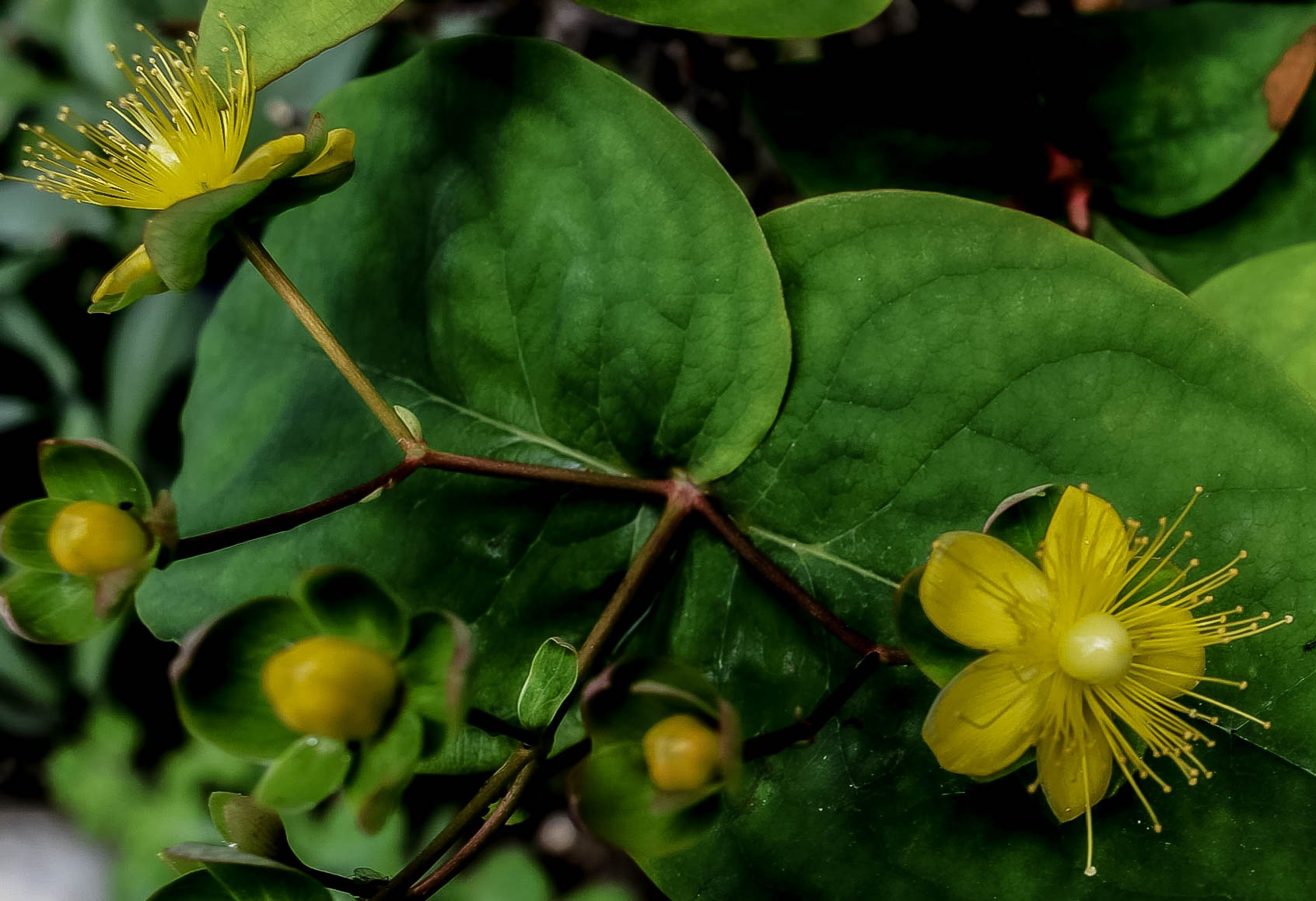 St John's Wort by Gordon