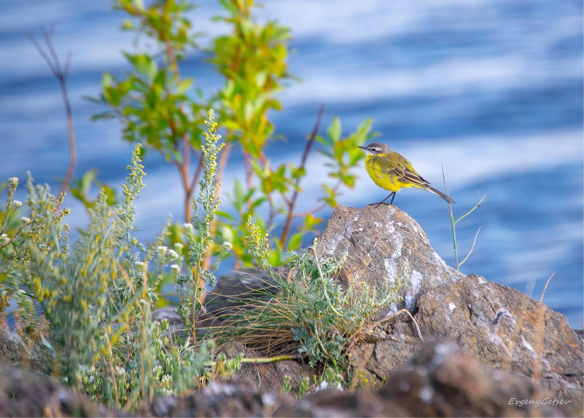 Yellow Bird by Evgeny Getsev