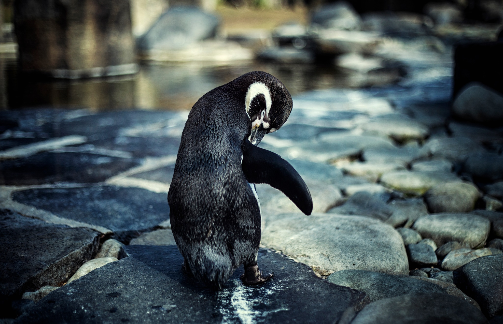 Prague Zoo Penguin by Neckyš Art & Photography