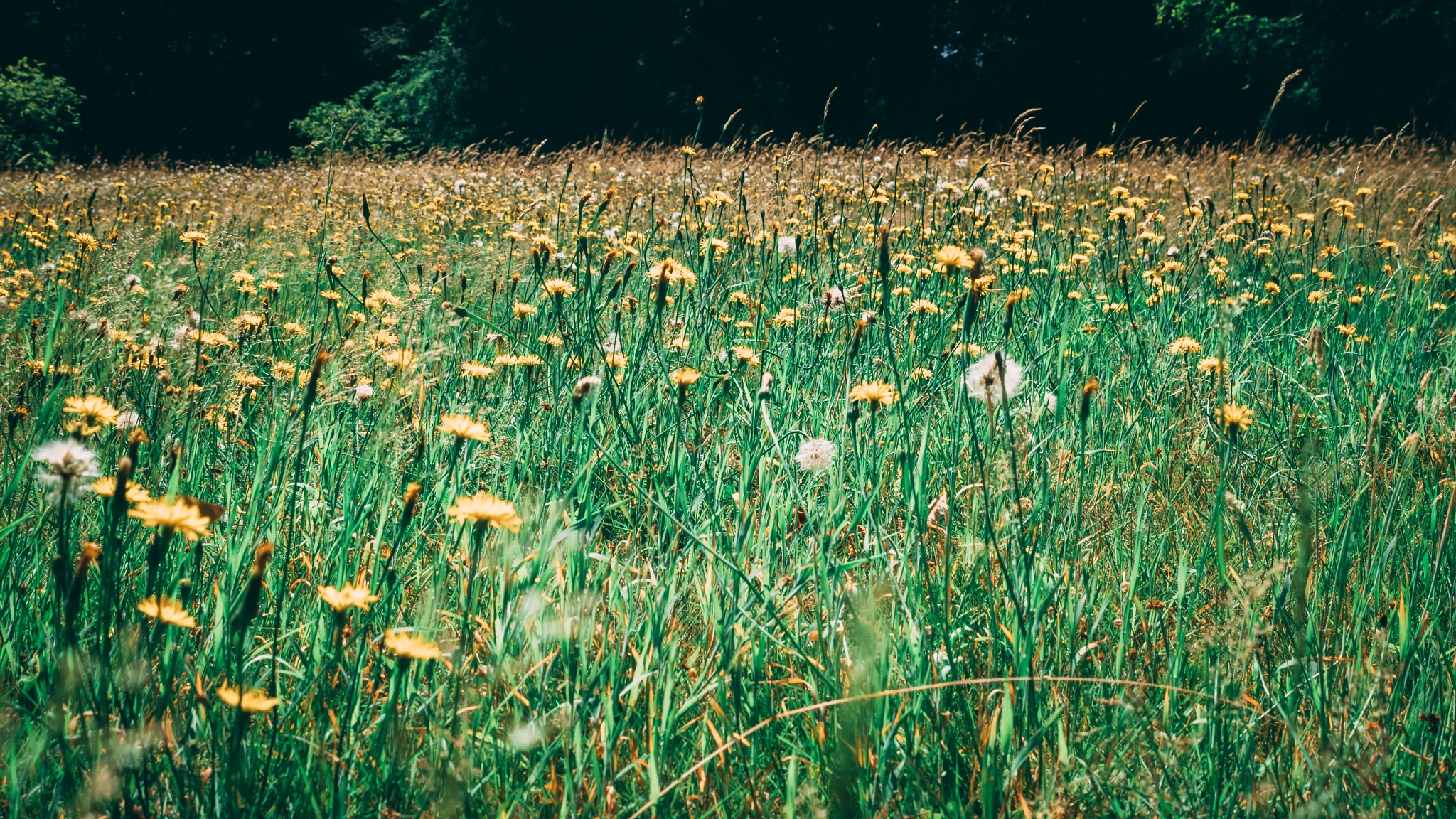 Fields of gold.  by thomasormerodphotography