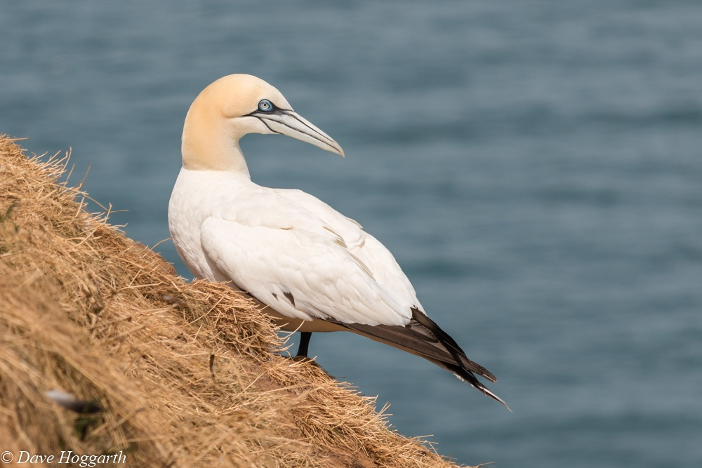 Gannet by David Hoggarth