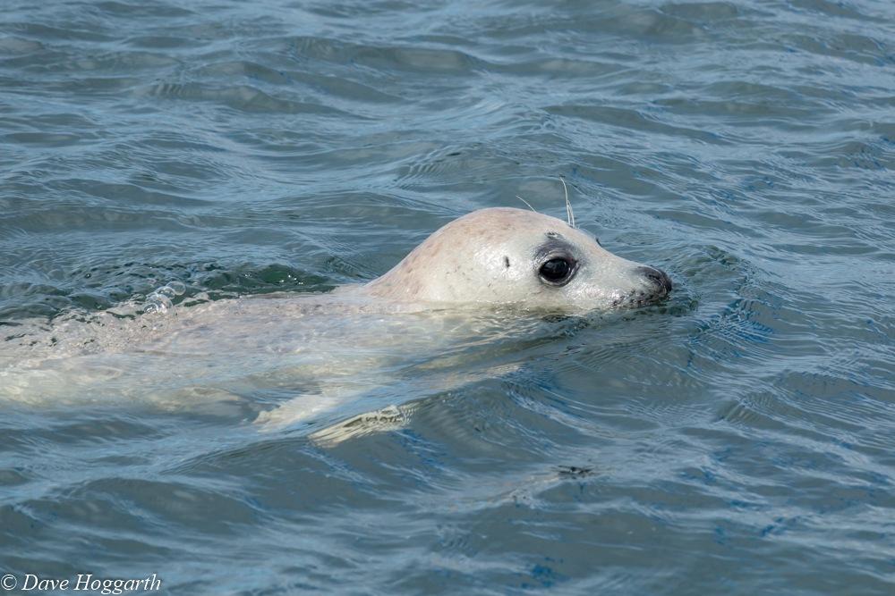 Seal by David Hoggarth