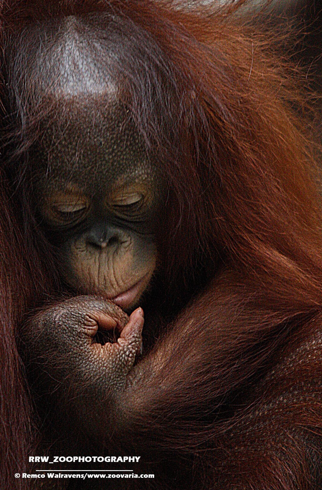 Baby orangutan asleep by Remco Walravens