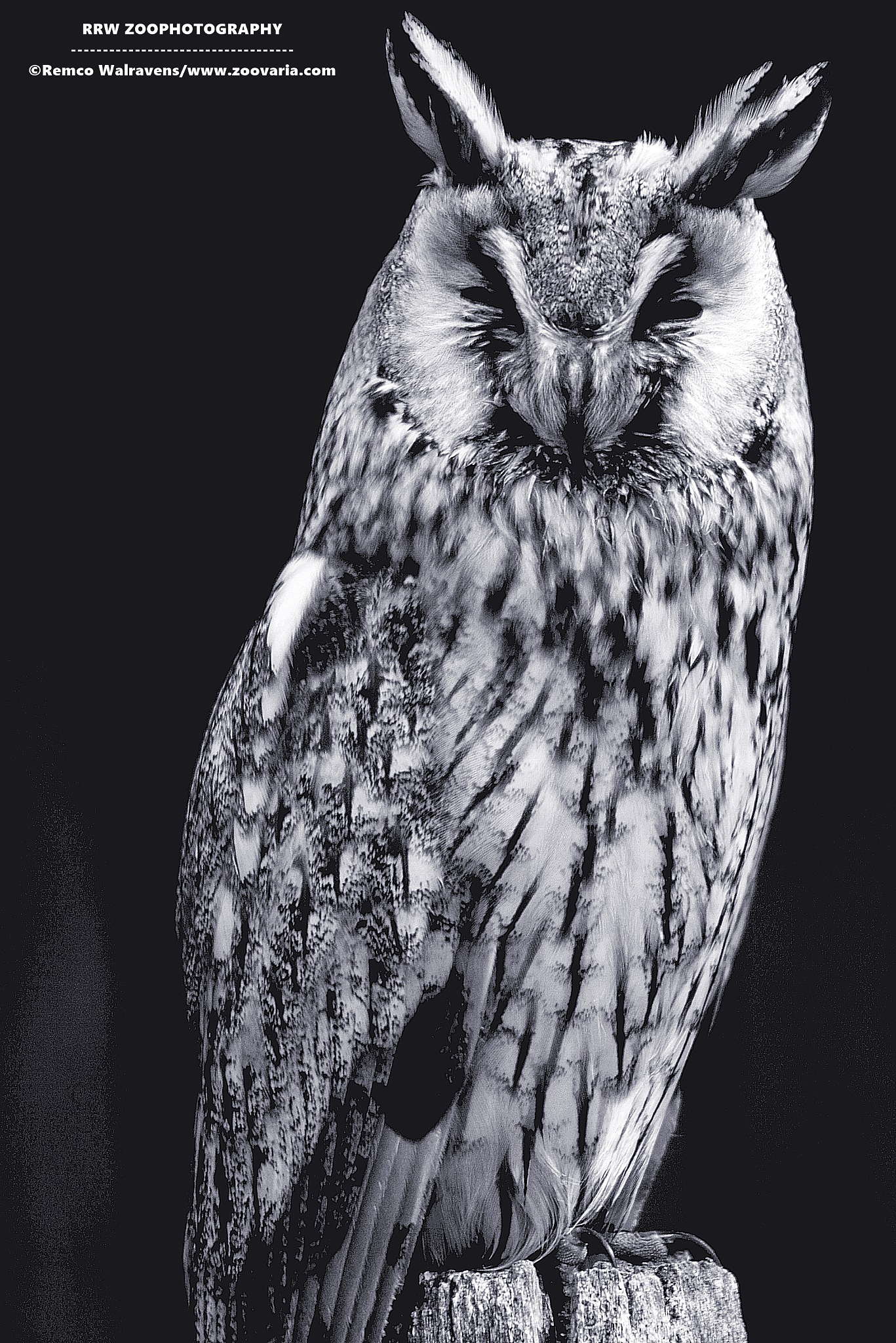 owl in black and white by Remco Walravens