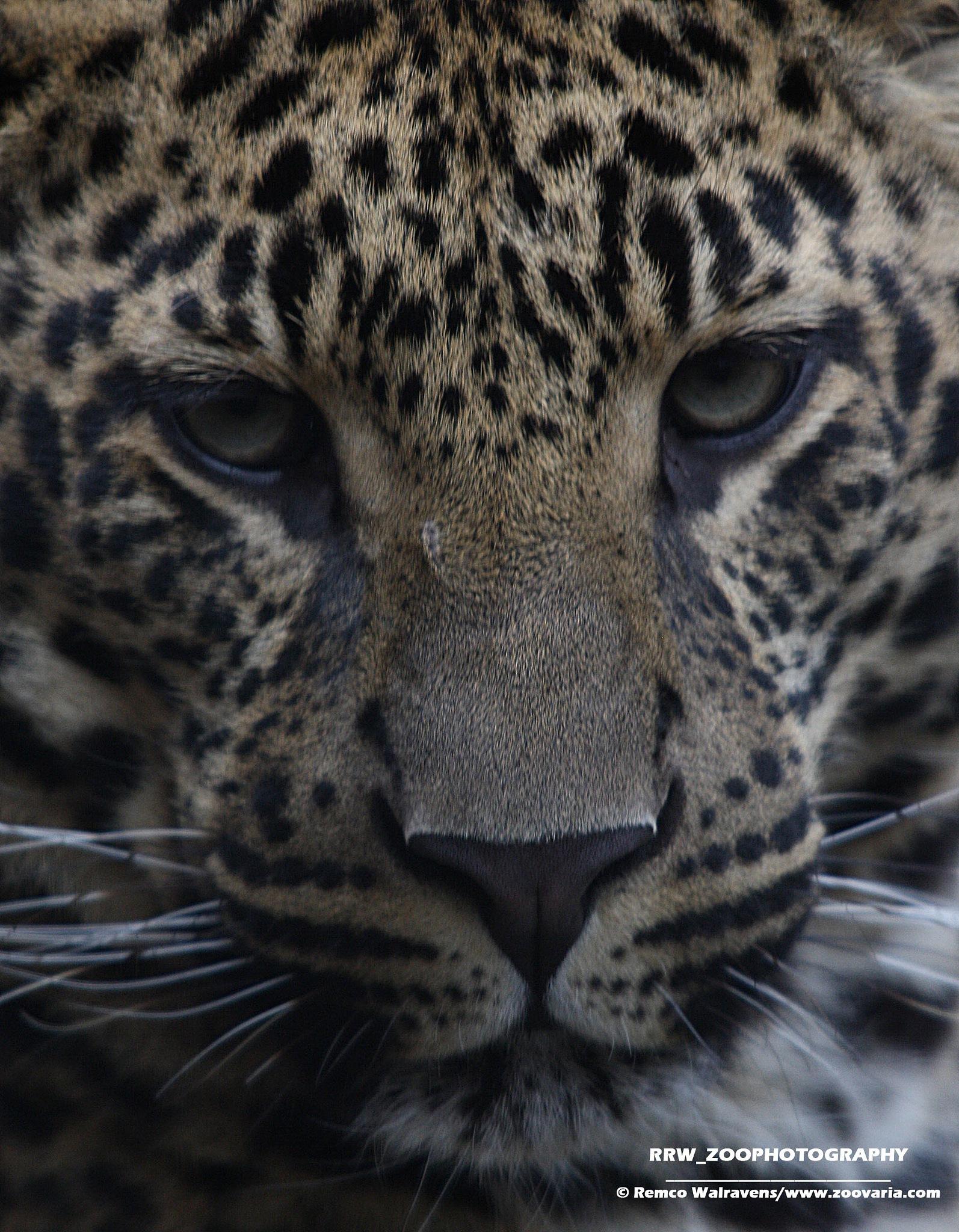 Sri Lanka leopard kitten by Remco Walravens