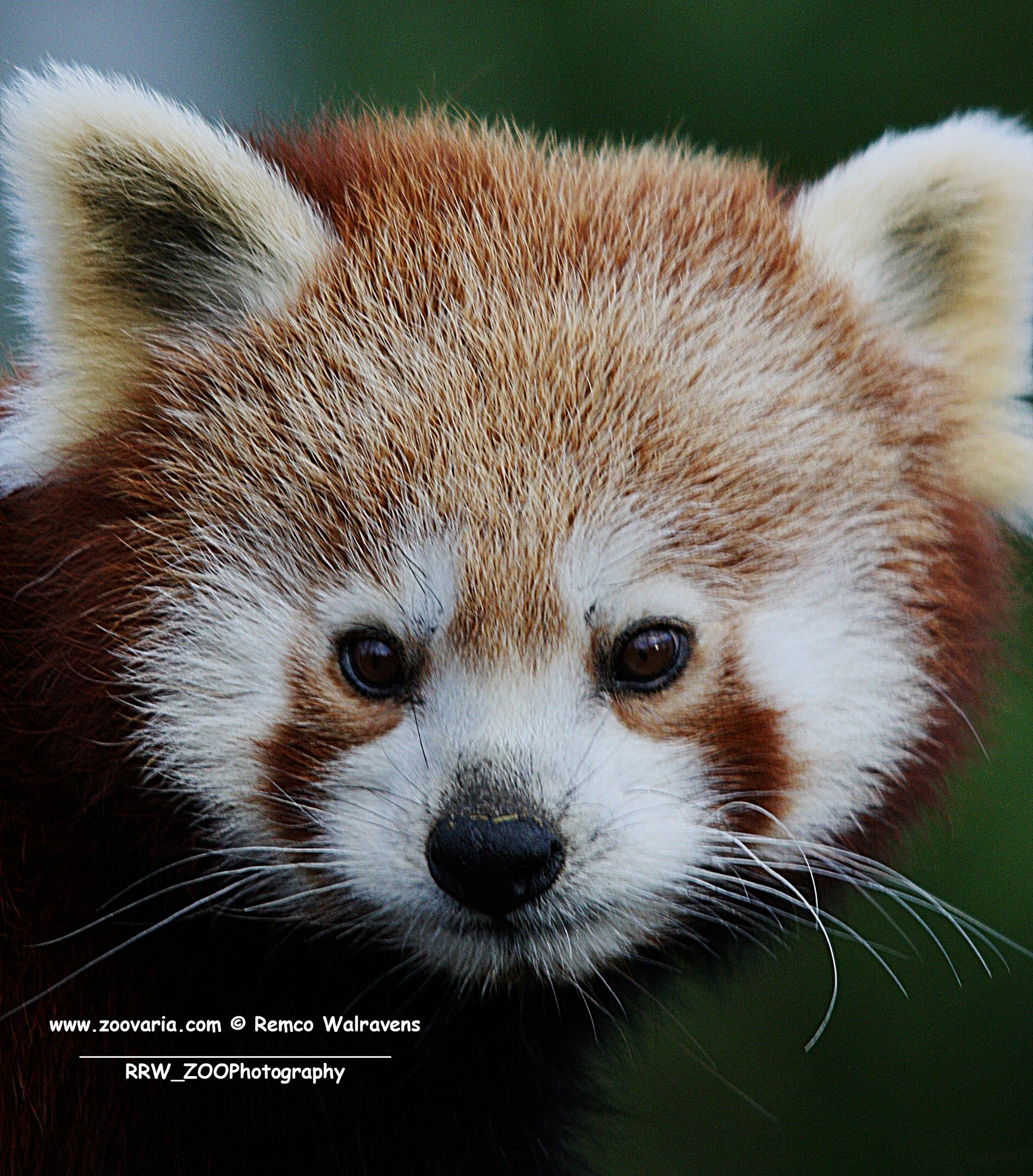 Red panda by Remco Walravens