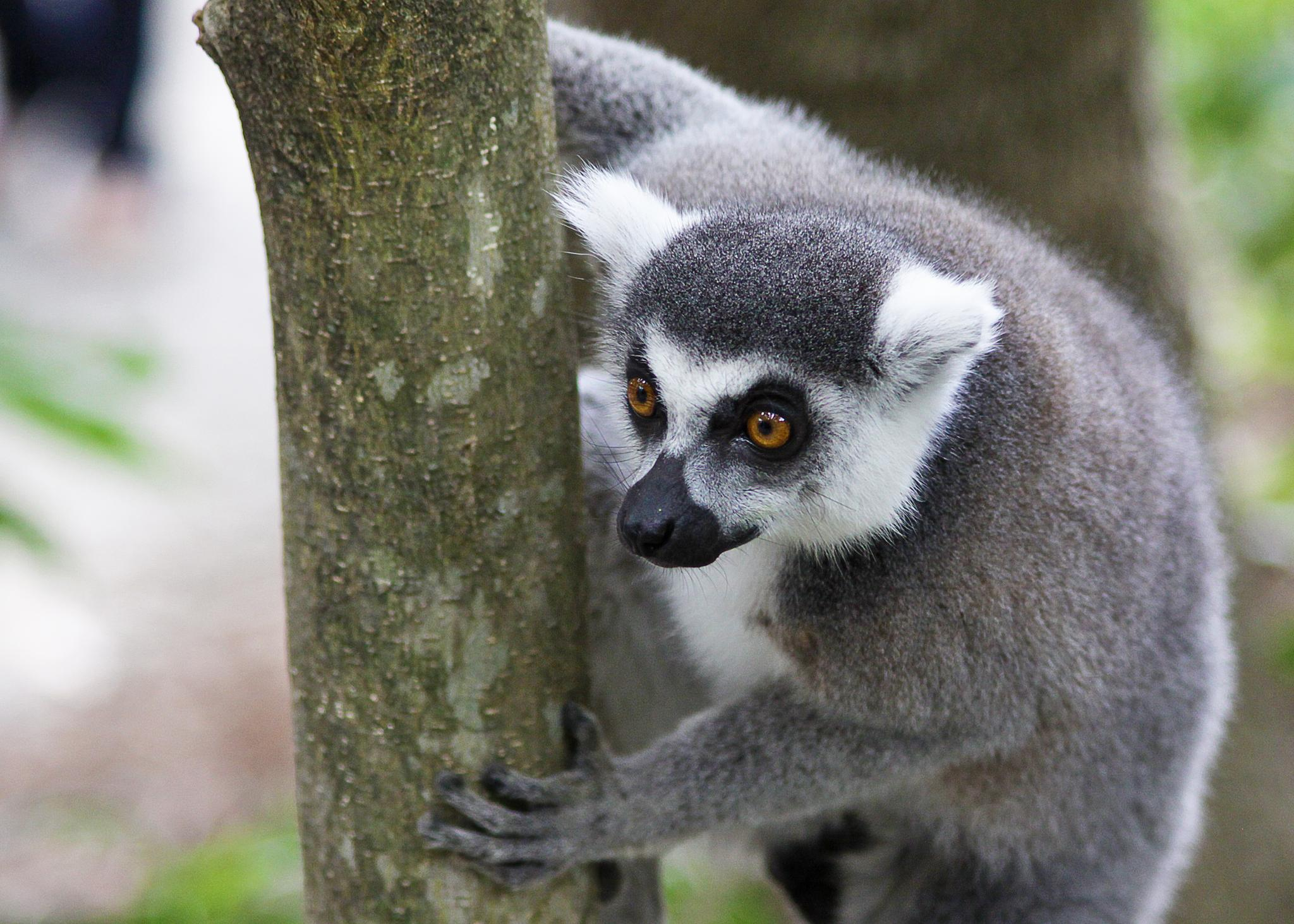 Ring-tailed Lemur by Colin Bushell
