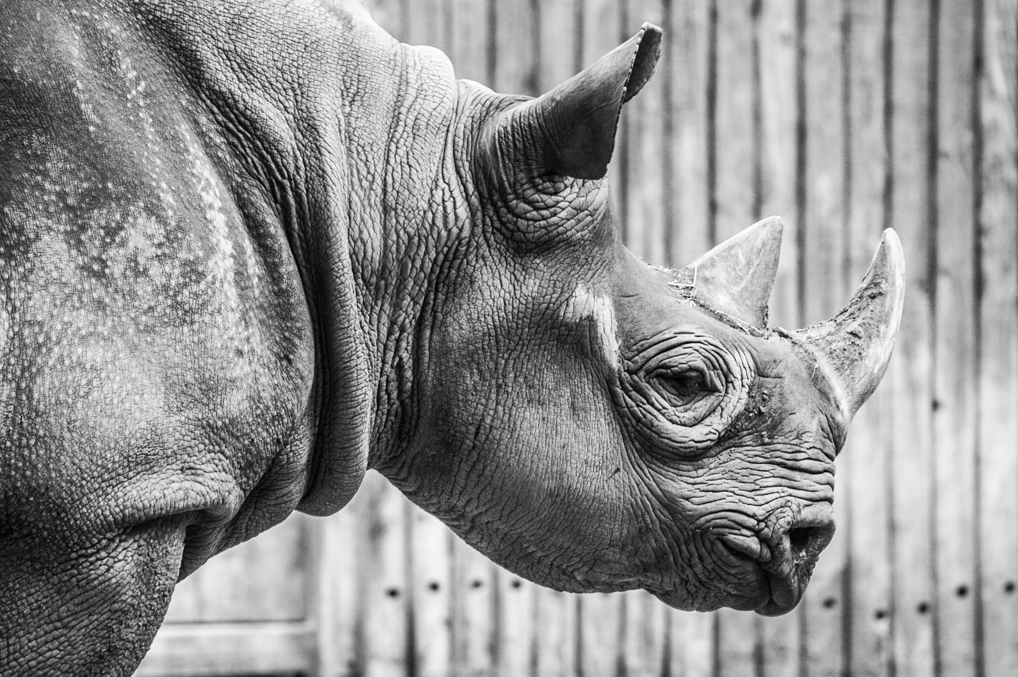 Black Rhinoceros by ZS Photography