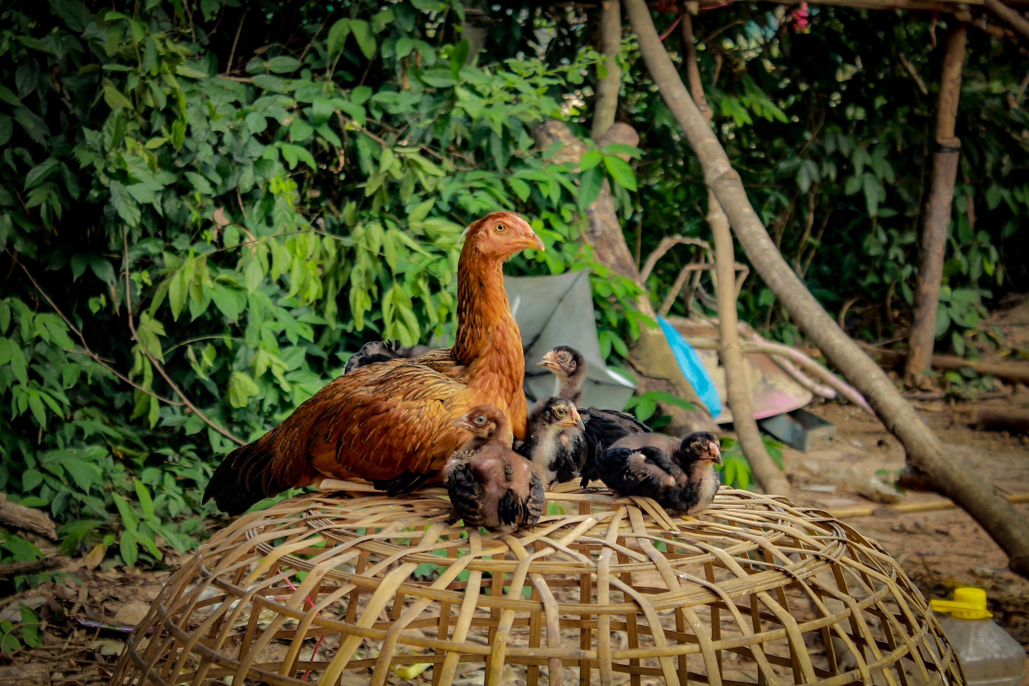 Hen and Chicks by Thinesh Rao