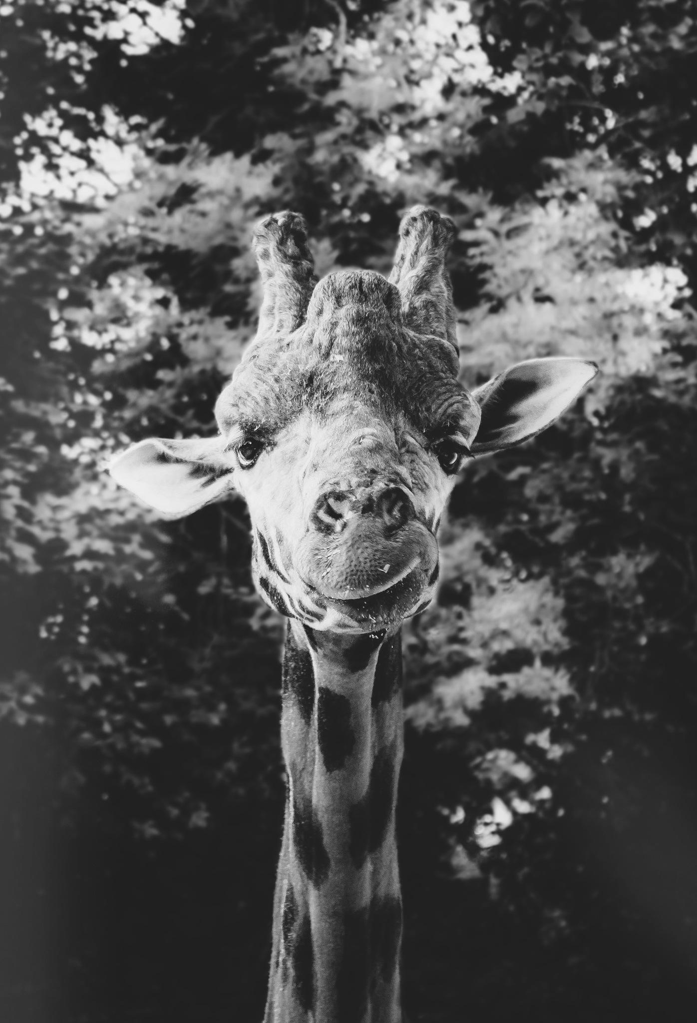 Dudley Giraffe by Jamie Finn