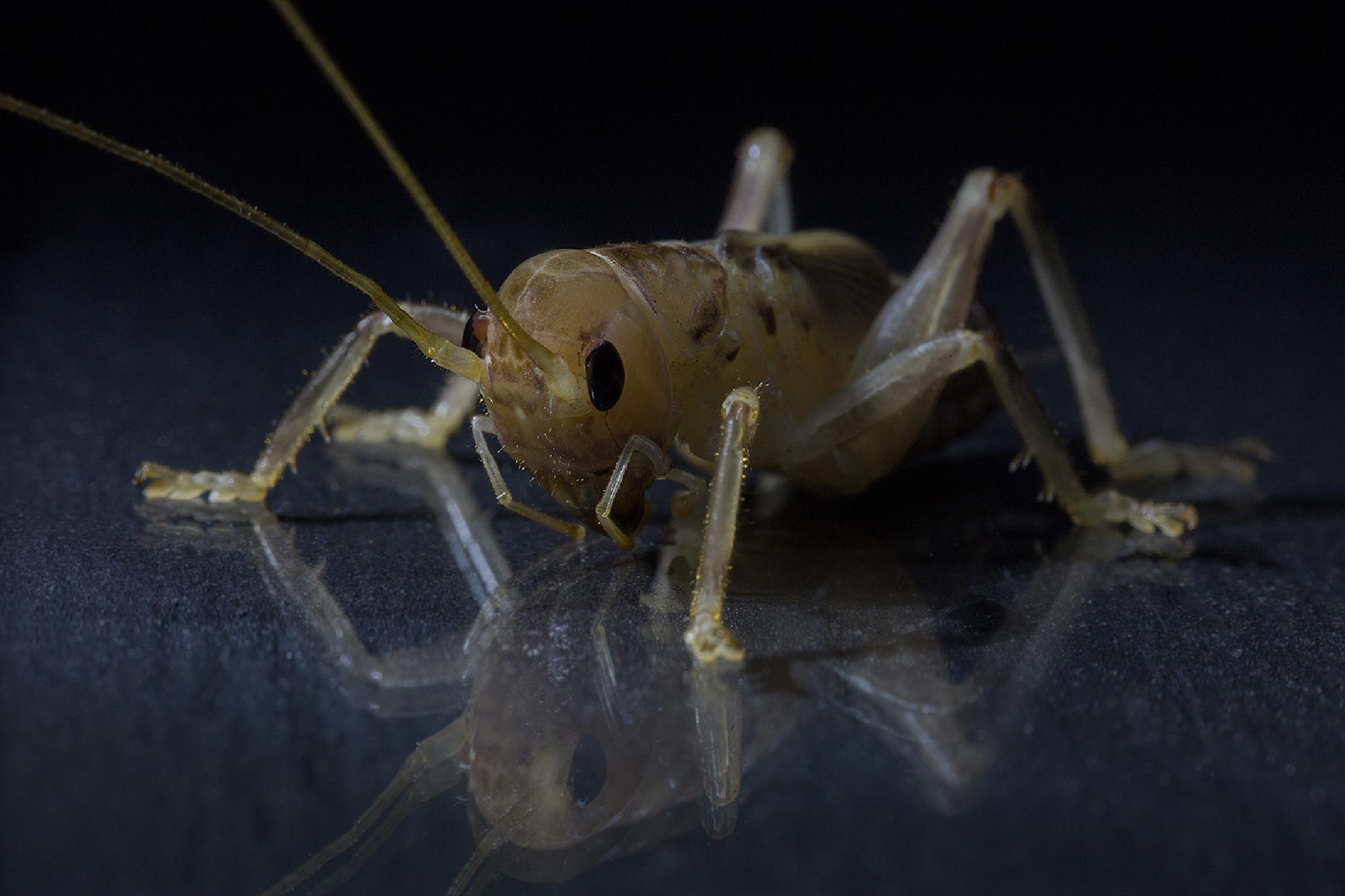 Cricket by Ed Peeters Photography