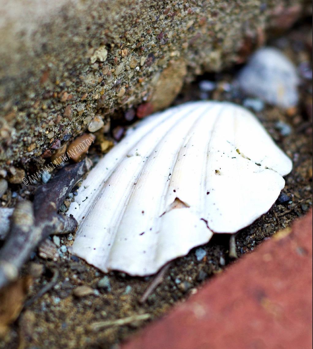 White Sea Shell  by Anastasia Logan