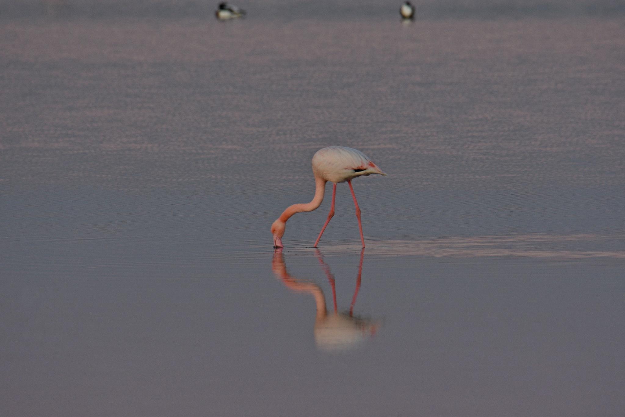 Flamingo by Nicola Nik Mazzini