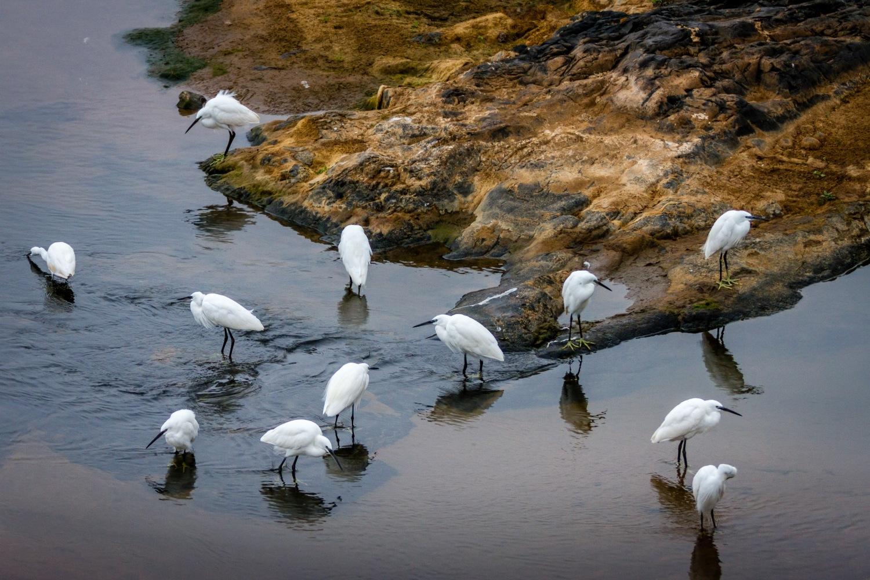 Egrets by Craig Main