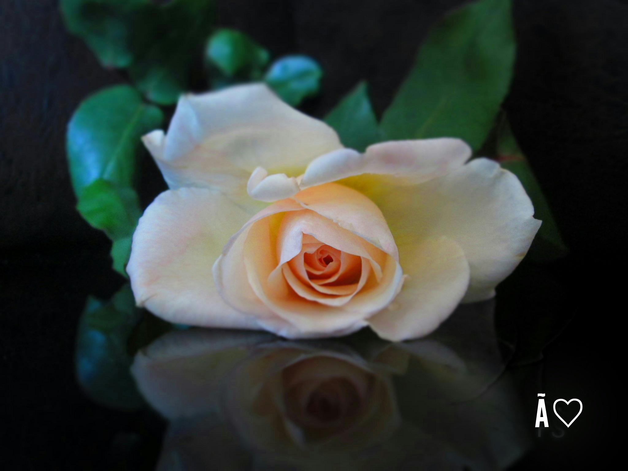 ROSE by Ãlaa Ay