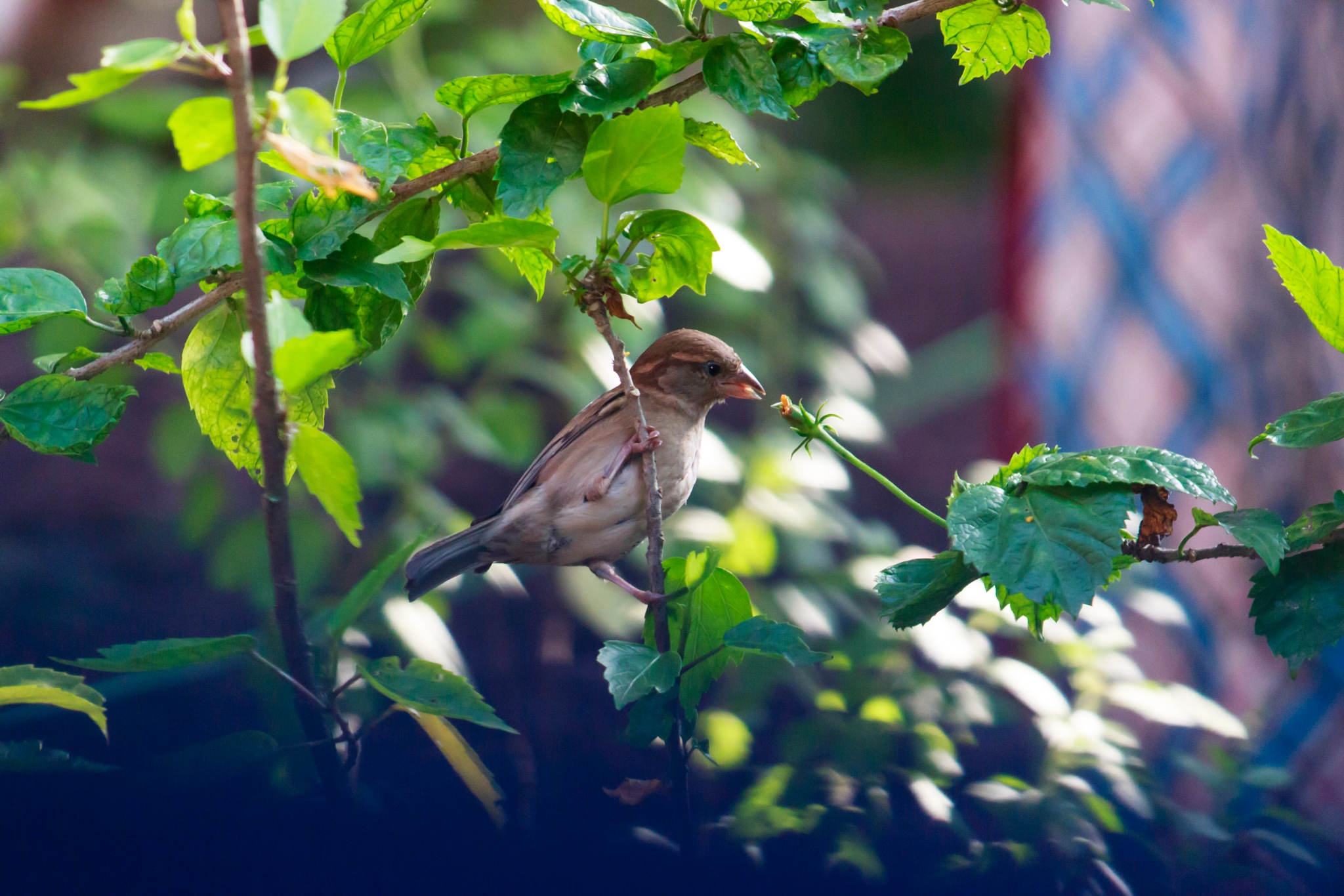 Indian House sparrow by Shilpa M B