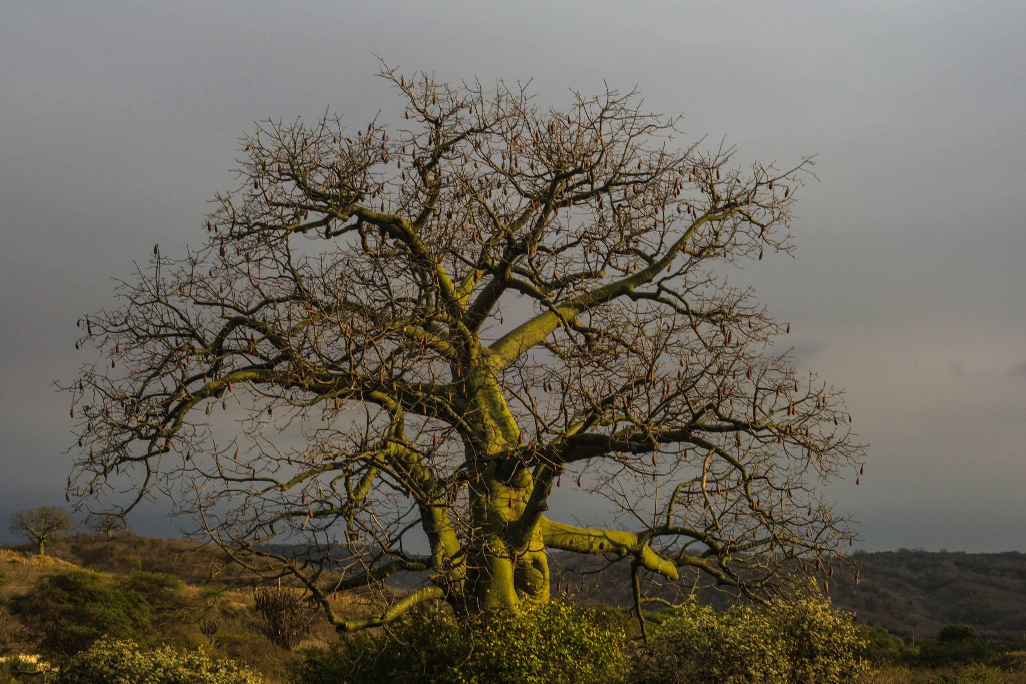 árbol de ceibo by Andrea Silva