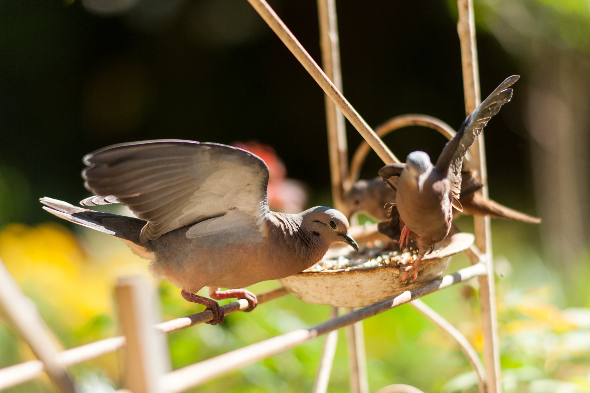 Dove dance by Pedro Linhares Machado Marchi