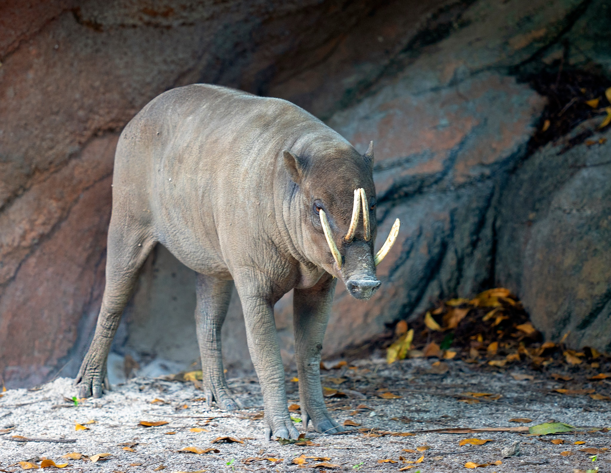 Babirusa by Terry R. Stahly