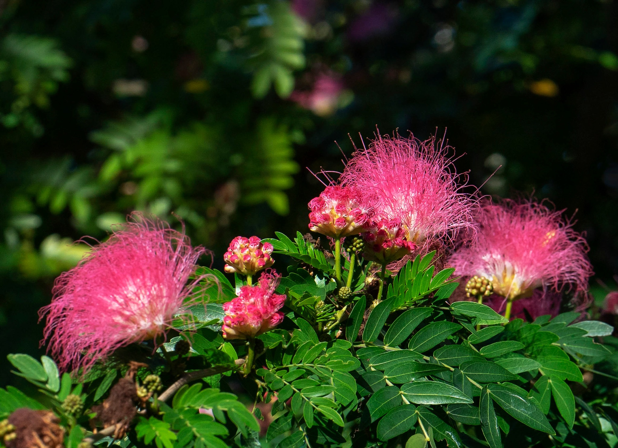Pink Calliandra Power Puff by Terry R. Stahly