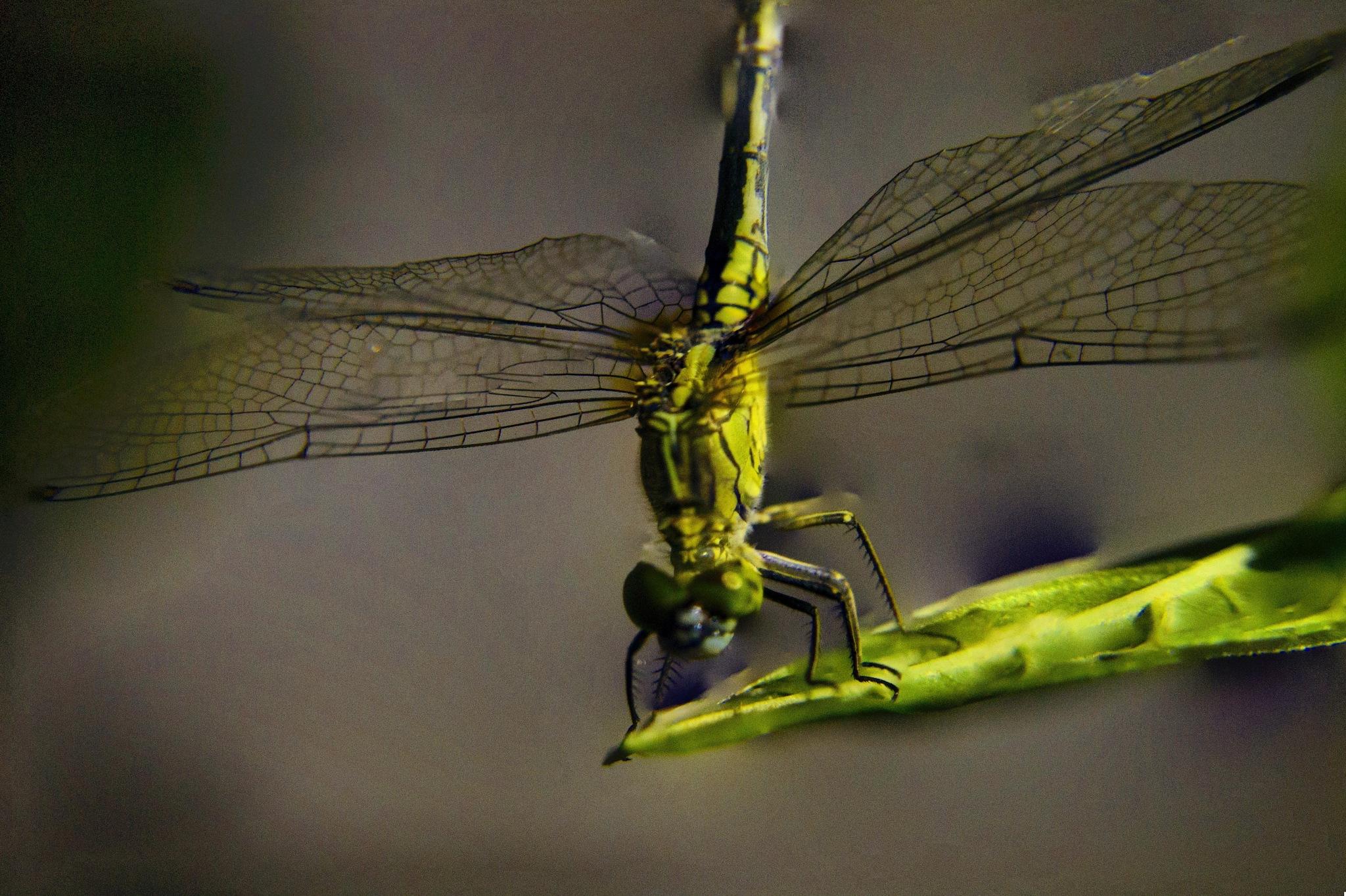 DaDragonfly by Jonbon Libreja