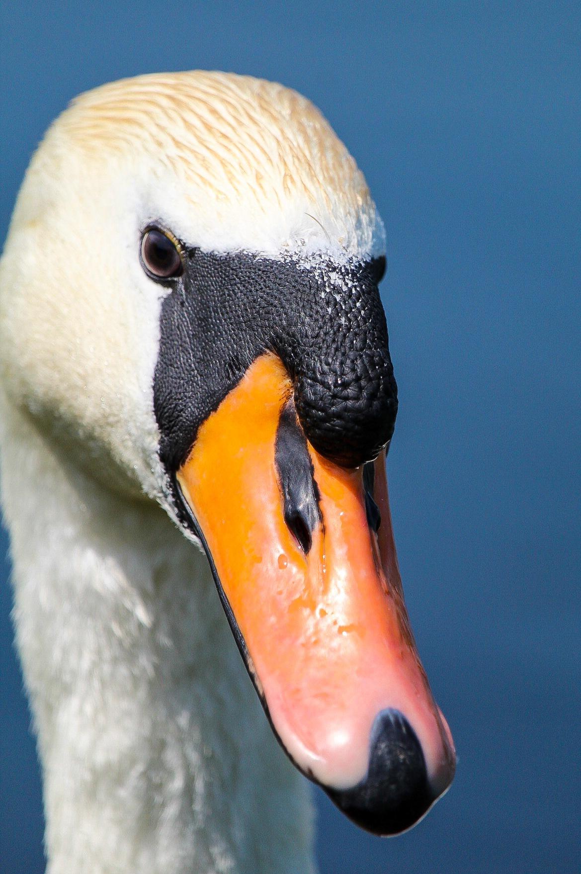swan by Dan whitney