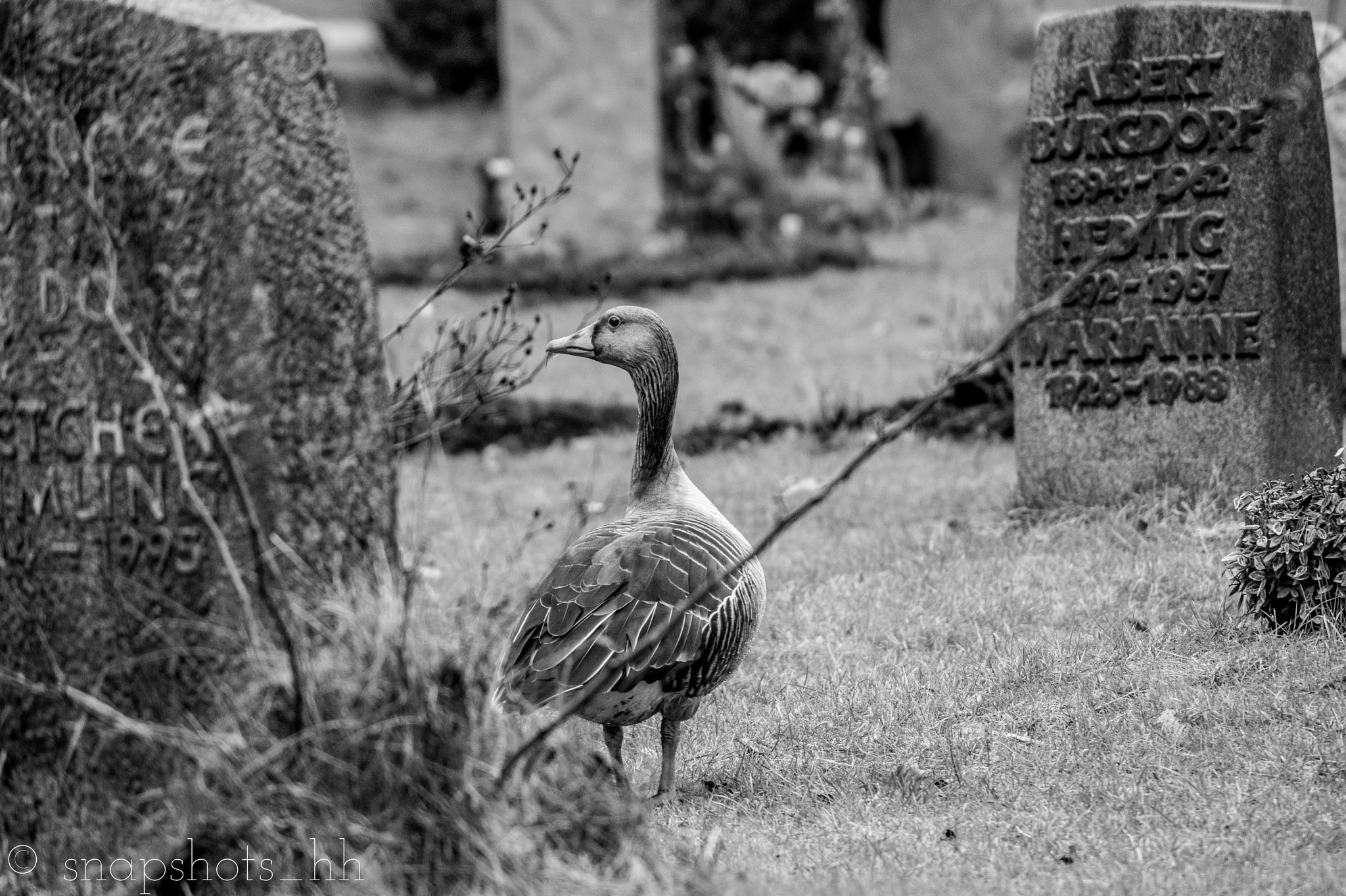 Goose on the cemetary by Snapshots_HH