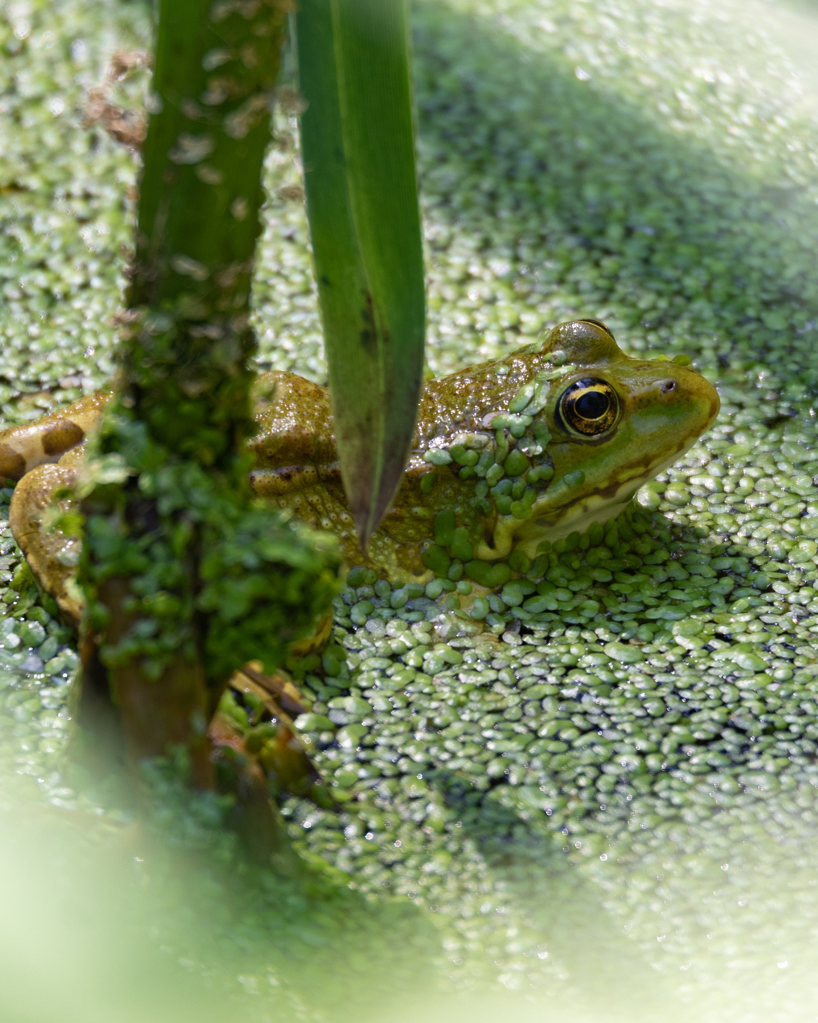 Frog by Thierry Royls