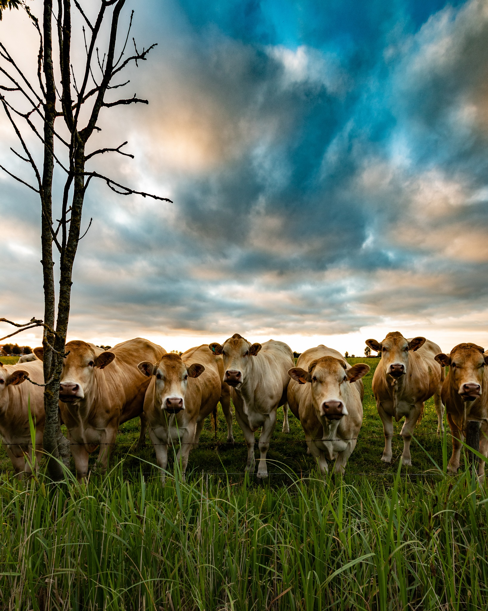cow starring by Thierry Royls